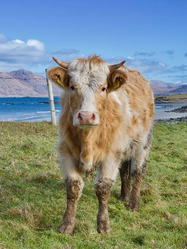 Cow at Island's View Beach