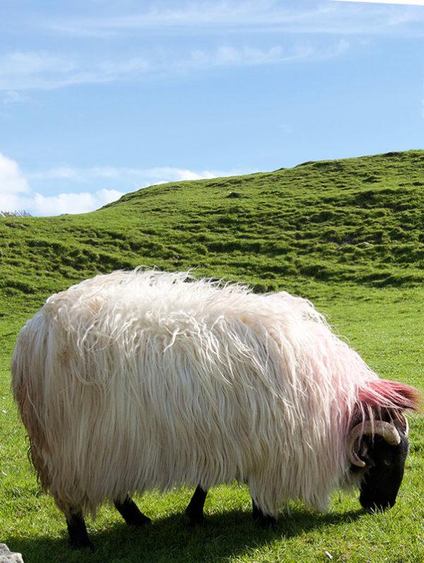 Day Tour of Connemara - Connemara Sheep