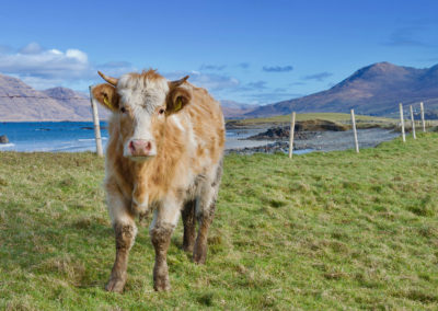 Cow at Island's View Beach on the Connemara Loop